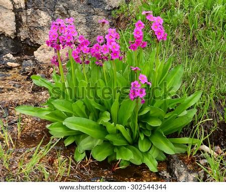 parry primrose in the james peak wilderness area ,  colorado     - stock photo