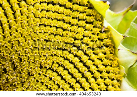 part ripe with sunflower seeds. Close-up. - stock photo