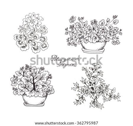 pelargonium ink sketches