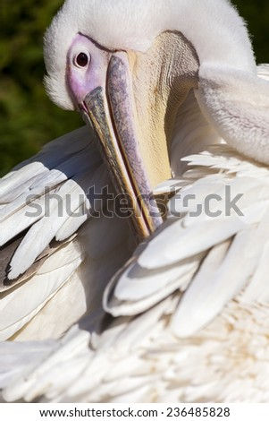 Pelican preening its feathers at Blackbrook Zoological Bird Park, Leek Staffordshire, United Kingdom. - stock photo