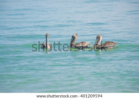 3 Pelicans floating in the blue water of the Gulf of Mexico