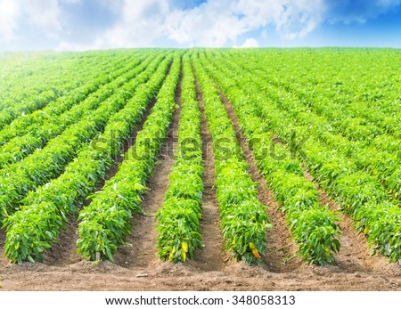 Peppers in a field with irrigation system and blue sky