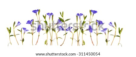 periwinkle flowers isolated on white background