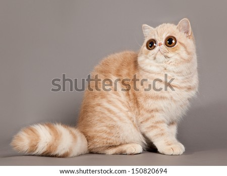 persian cat with big eyes on grey background - stock photo