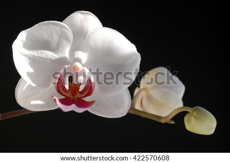 Phalaenopsis Orchidaceae white,from bud to flower