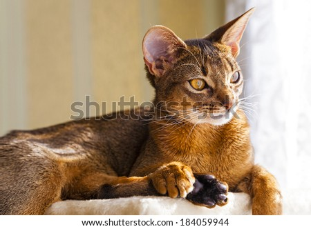 photographed Abyssinian cat. the cat has a rest. focus on eyes - stock photo