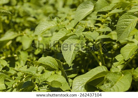 photographed by a close up green leaves of potatoes