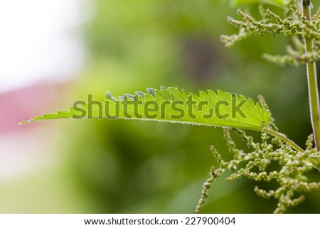 photographed by a close up leaves of a green moloy nettle - stock photo