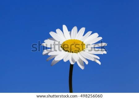 photographed close-up daisy flower with white petals, blue sky