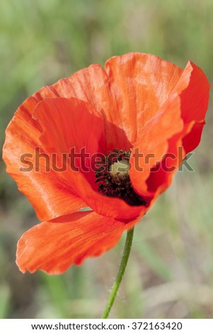 photographed close-up of blooming red poppies in summer. agricultural field - stock photo