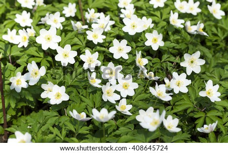 photographed close-up white spring flowers. - stock photo