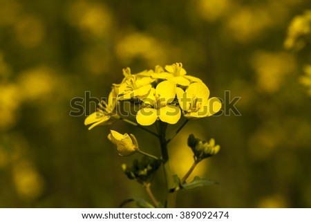 photographed close up yellow rapeseed flowers in spring season - stock photo