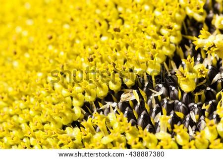 photographed closeup large outdoor flower sunflower. black sunflower seeds - stock photo