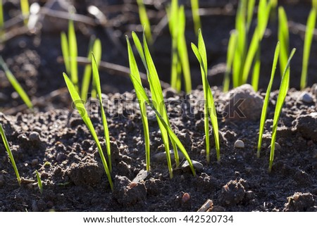 photographed closeup young green shoots of wheat at the beginning of their growth, agriculture - stock photo