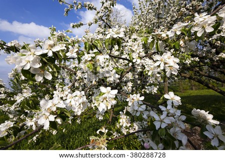 photographed flowers white cherry blossoms. spring season - stock photo