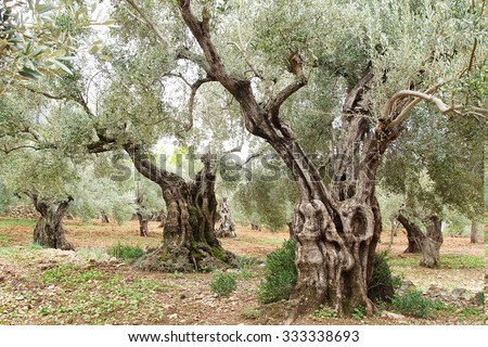 Picturesque landscape with old olive trees in Mallorca.
