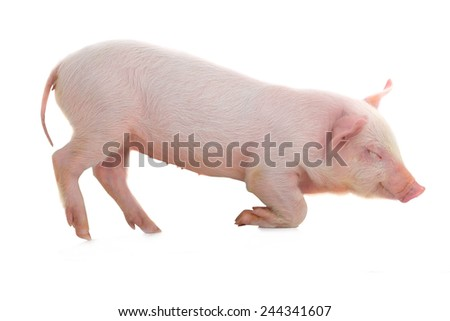 pig lies on a white background. studio