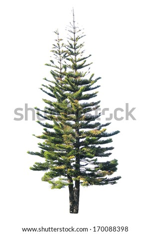 pine tree isolated on a white background  - stock photo