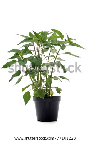 Pineapple-scented Sage in pot in front of white background