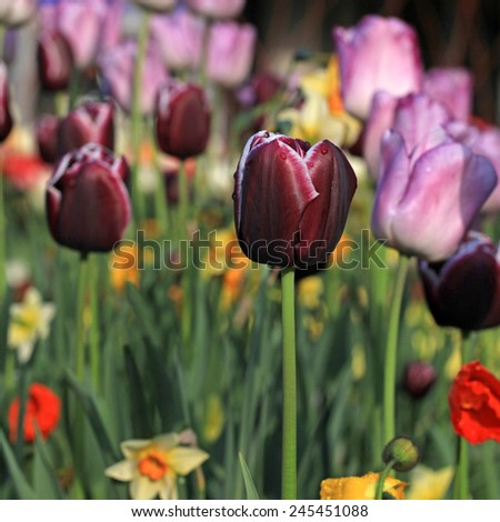 pink and purple tulips and multicolored garden flowers, selective focus, square image  - stock photo