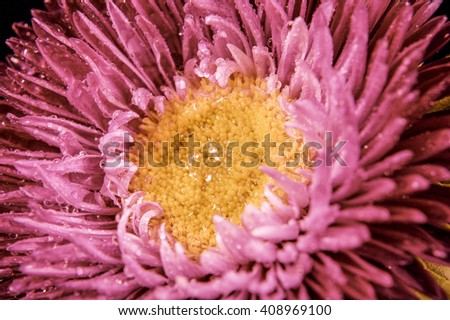 Pink aster in water droplets close-up - stock photo