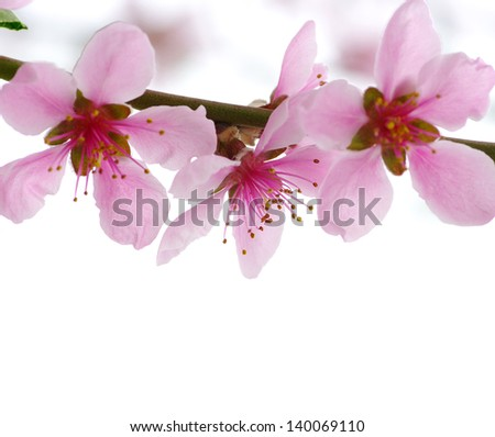 pink blossoms isolated on white
