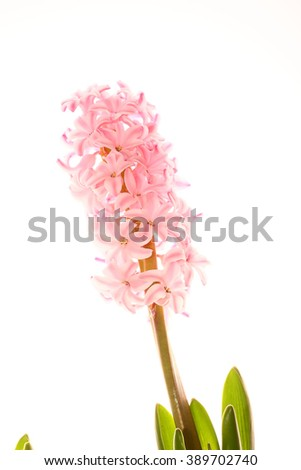 Pink flowers hyacinths with green leaves isolated on white - stock photo