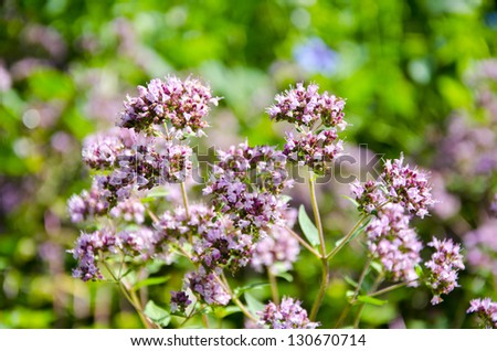 pink flowers of wild marjoram, origanum vulgare in summer garden - stock photo