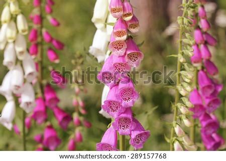 Pink foxglove flowers (Digitalis) in a garden in summer - stock photo