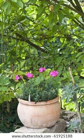 pink geranium flowers in a terracotta flower pot. - stock photo