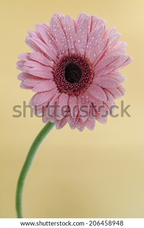 Pink Gerbera in beautiful full blossom, on yellow