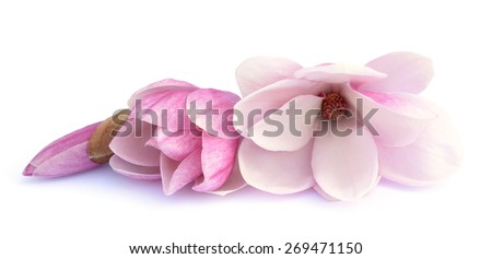 pink magnolia flowers from the bulb to the bloom on white background  - stock photo
