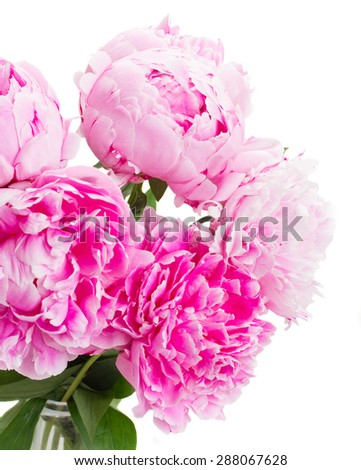 pink   peony flowers  close up  isolated on white background