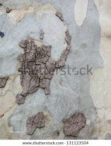 Platanus tree bark texture. Abstract background. - stock photo