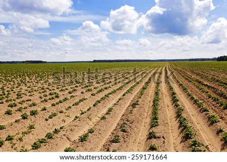 plowed agricultural field, which grows potatoes. Blue sky.