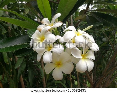 Plumeria flower or Frangipani flower have a good smell and very beautiful, White Paper flower the tropical flower in Thailand