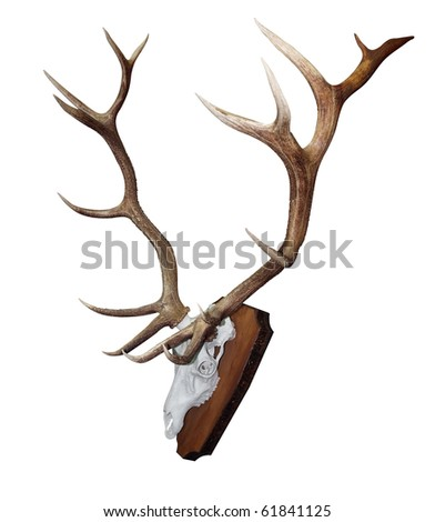 15 Point Mounted Stag Horns isolated with clipping path - stock photo