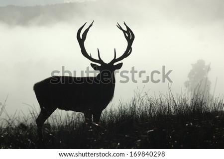 13 point red deer stag in morning fog, West Coast, South Island, New Zealand - stock photo