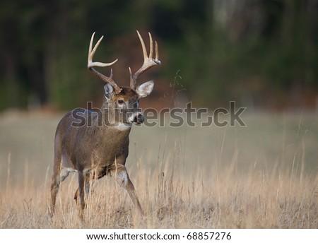 9 point Whitetail Buck Deer walking, Cades Cove, Great Smoky Mountains National Park, Appalachian Mountains, Tennessee - stock photo