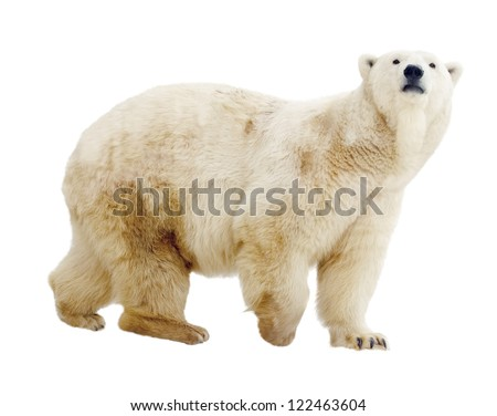 polar bear. Isolated over white background - stock photo
