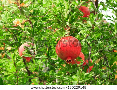 Pomegranate fruit on tree branch in the garden - stock photo