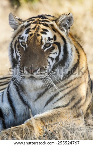 portrait of a bengal tiger resting in the dry grass, india, asia