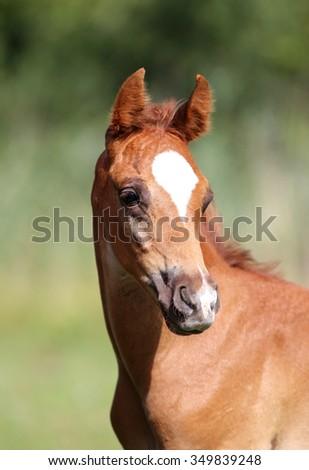 Portrait of a few weeks old chestnut arabian foal - stock photo