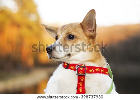 portrait of a very cute and charming dog Jack Russell on the beautiful bokeh background blur orenzhevogo , red and yellow colors - stock photo