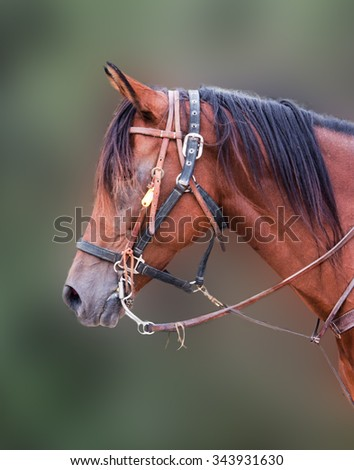 Portrait of a young horse in harness against a blurred background - stock photo