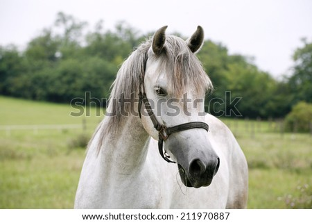 Portrait of an beautiful arabian white horse. 	Close-up of a gray youngster in summer paddock