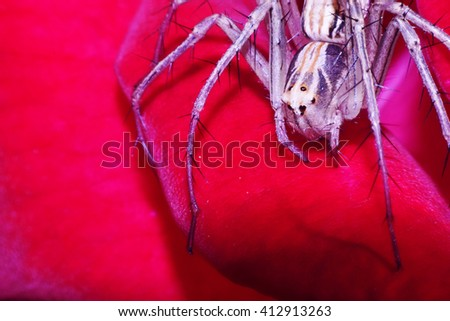 portrait of beautiful eight eyes spider for background.