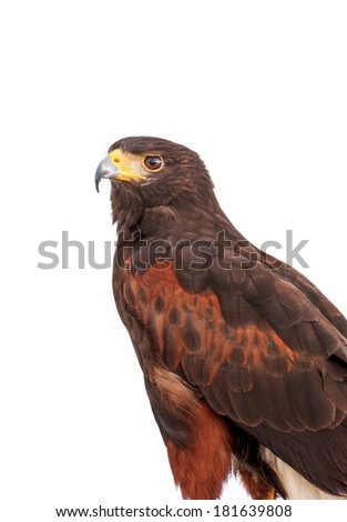 Portrait of  Harris's brown hawk isolated on a white background - stock photo