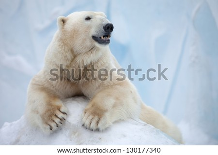 portrait of large white bear on ice - stock photo
