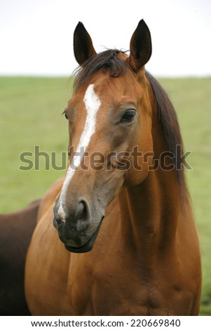 Portrait of nice  bay horse. 	Close-up of youngster racing horse in the field - stock photo